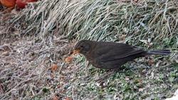 a black bird female is pecking grain