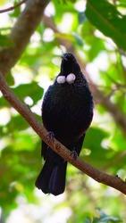 A black bird on white necklace,Tui bird in Newzealand
