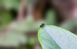 A black bottle fly sitting on a jackfruit leaf