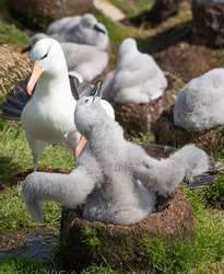 A black-browed albatross chick shows off in its nest for its parents at West Point Island, Falkland Islands