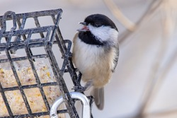 A Black Capped Chickadee clings to a feeder on an afternoon in early winter, towards evening.