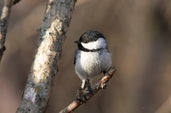 A black-capped chickadee pauses on an alder branch while feeding near Anchorage, Alaska.