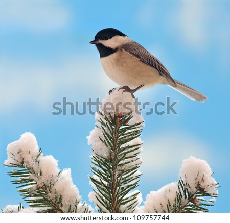 A Black- capped Chickadee (Poecile atricapillus) on a snowy spruce bough with blue sky in the background.