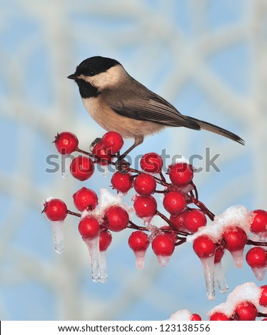 A Black- capped Chickadee (Poecile atricapillus) on an icy crabapple branch.