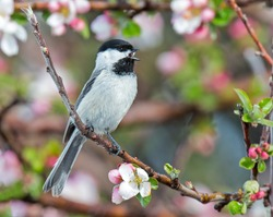A black capped chickadee singing amongst the blooms.