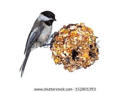 A black capped chickadee sits on a pine cone home made bird feeder that is filled with peanut butter and seed. White background