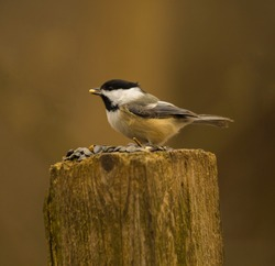 A black capped chickadee with a peanut in its beak. It had the choice of sunflower seeds or peanuts, and it chose the peanut.