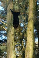 A black cat climbing a tree. A black cat sitting on a tree. Poland, Europe