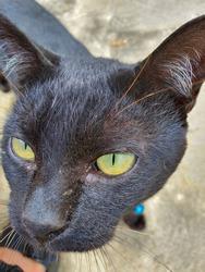 a black cat like a phanter