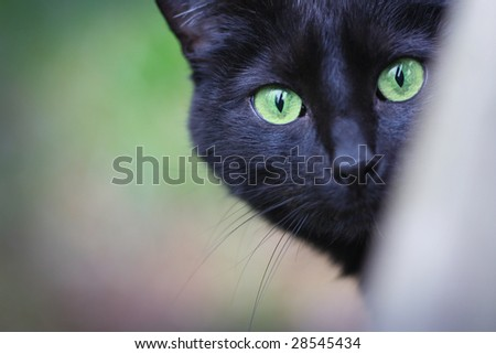 A black cat looks at the camera.