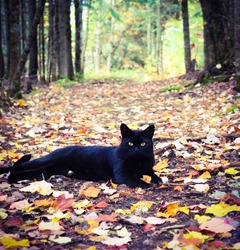 A black cat on a trail in the woods during Autumn with lots of colored leaves on the ground. Black cat with neon green eyes on a dirt path in the forest covered with fall leaves.