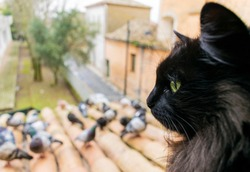 A black cat with green eyes looks at the pigeons. Close-up. cat in focus