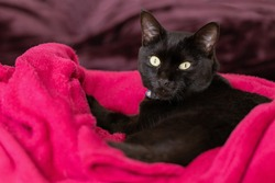 A black cat with yellow eyes lying on the  blanket in the bed. Animals defender. Animal world. Pet lover.Cat lover.
