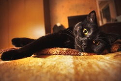 A black cat with yellow luminous eyes lies on the bed in back yellow light. Isolation 2020 and cat relaxation. Evening of rest. Yellow backlight, yellow cat eyes. The contrast of light and shadow.