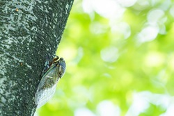 A Black Cicada on The Tree in Summer