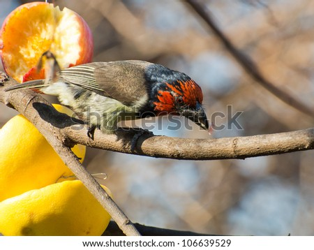A black collard Barbet on a branch guards his half eaten apple - stock photo