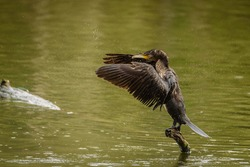 a black cormorant photographed near a lake in italy