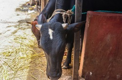 A Black cow with white spot on head eating straw at street tied with rope to slaughterhouse in Dhaka, Bangladesh