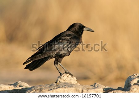 A black crow (Corvus capensis) perched on a rock, Kalahari desert, South Africa