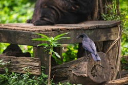 A black crow in Dusit zoo on Bangkok, Thailand.