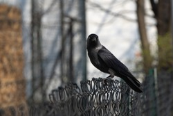 A black crow or Jackdaw with blue eyes sits on a fence and looks at the camera. Keeps track of the prey. The silhouette of a dark bird on a blurred background.