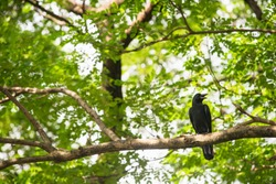 A black crow perched on a tree branch with green background in Dusit zoo on Bangkok, Thailand.