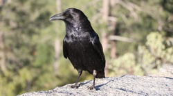 A black crow ready for hunting