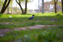 A BLACK CROW WALKING ON THE GRASS AT A LOCAL PARK