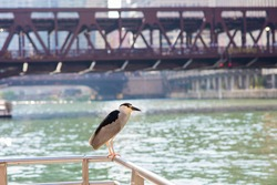 A black-crowned night-heron perched by the Chicago River, downtown Chicago, with the city's beautiful bridges in the background.