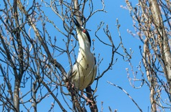 A Black-crowned Night Heron with long white head plumes, stretches his neck to grab a small limb from a budding tree for nest building purposes