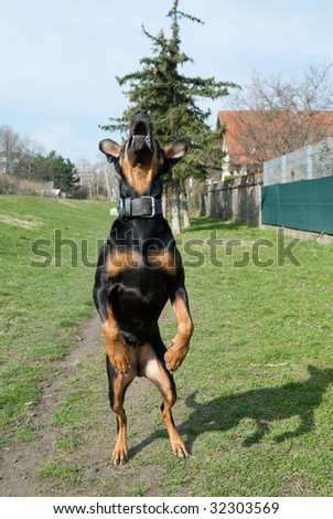 a black doberman jumping in the air with an open mouth