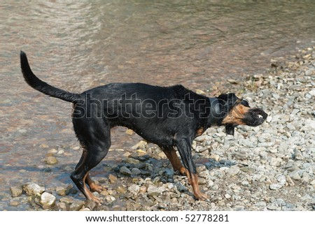 a black doberman shaking the water of its fur at the riverside