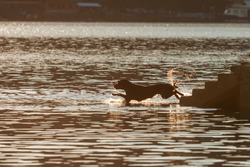 A black dog jumps down the stairs into the water of a dam during the setting sun. Water splashes around the dog.