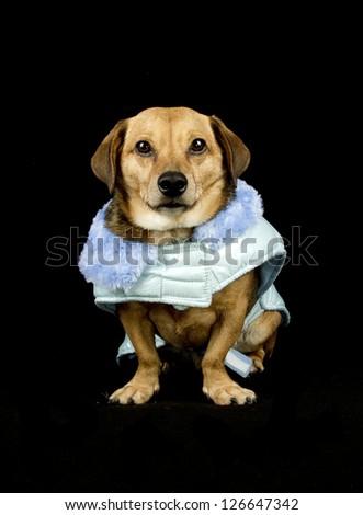 a black dog sweet Prince Charming blue