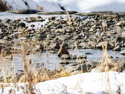 A black eared kite, Milvus migrans lineatus, drinks from the Yomase River while landed in Yamanouchi, Nagano Prefecture, Japan.