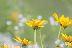 A black eyed susan blooming in a meadow with many wild flowers.