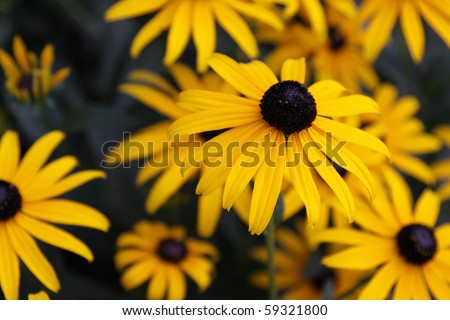 A Black-eyed Susan (Rudbeckia hirta) flower in the midst of a flower bed.