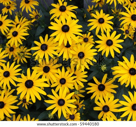 A Black-eyed Susan (Rudbeckia hirta) flowers in the midst of a flower bed.