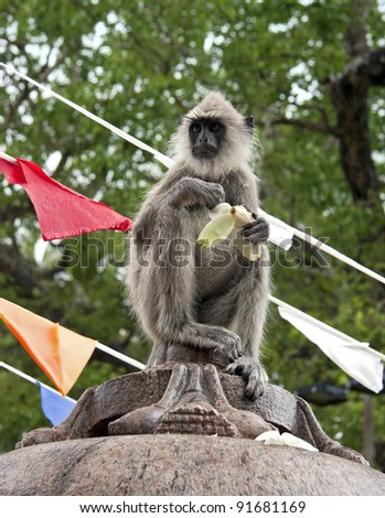 A black-faced monkey braves a downpour to steel lotus flower offerings at the Buddhist Temple, Anuradhapura, Sri Lanka.