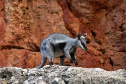 A black flanked rock wallaby in its brilliant red rocky home