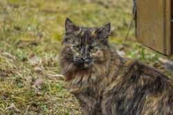 A black fluffy cat sits on the grass and looks forward, ears perked up. She is safe and unafraid, but alert. This is a tortoiseshell (tortie) Persian smoky cat.