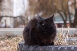 A black fluffy cat with green eyes sits on an old tire from a wheel. Animal resting outdoors on the street