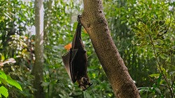 A black flying fox hangs upside down holding on to a tree in its usual habitat in a forest with green plants
