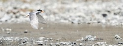 A black-fronted tern (Chlidonias albostriatus) also known as sea martin, ploughboy, inland tern, riverbed tern or tarapiroe, searching the Rakaia fresh water River bed in the South Island