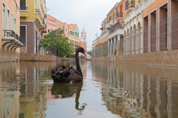 A black goose, swan or duck in Venice Vacharaphol with canal in Bangkok City, Thailand in Italian concept. Italy town. Europe architecture. Tourist attraction. Animal.
