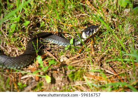 A black grass snake (Natrix natrix) sunbathing in the autumn sun.