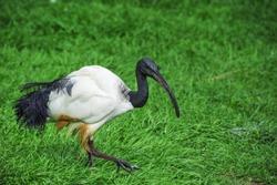A black headed Australian ibis bird walking on the grass