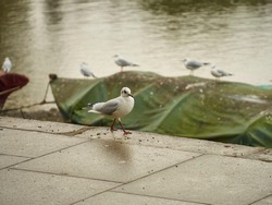 A black-headed gull in winter plumage walks, maybe struts, along a riverside pavement, with a group of its fellows perched on a moored boat behind.