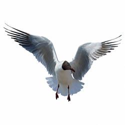 A Black headed Gull on flying isolated on white background.(Larus ridibundus) Bangpu Samuthprakharn,Thailand