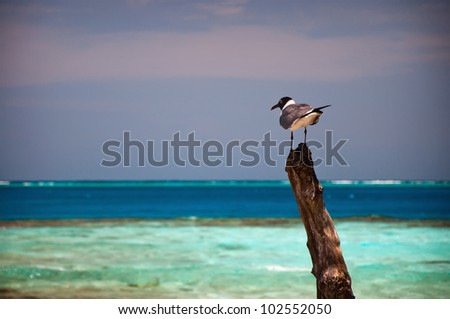 A Black Headed Seagull on a Beach in Belize